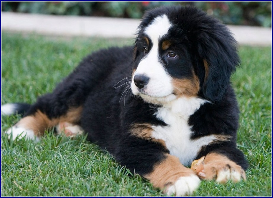 St Bernese Mountain Dog Poodle Mix