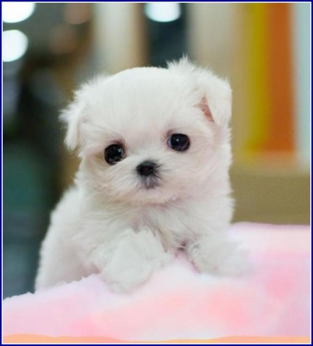Teacup Maltese Dog Breed