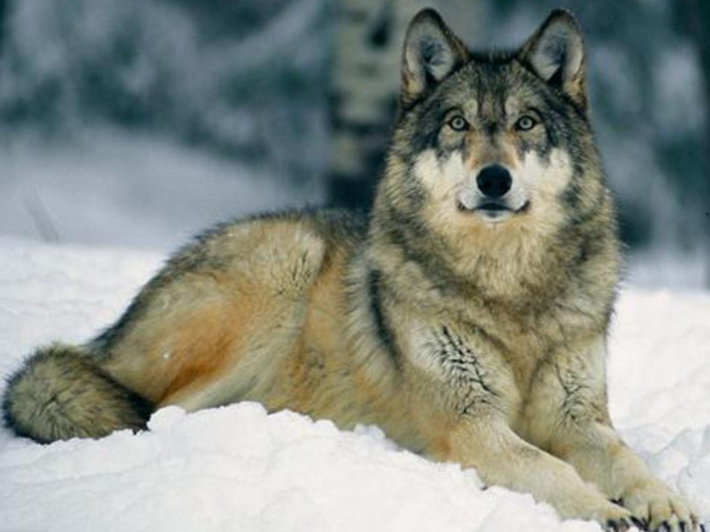 The Gray Wolf Pictures