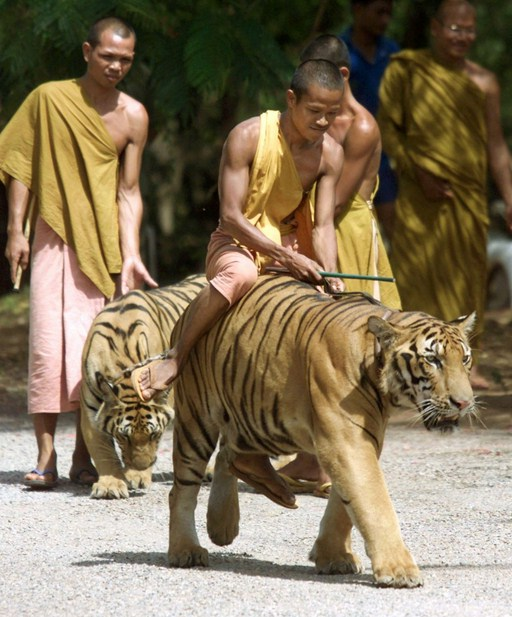 Tiger Temple Thailand Images