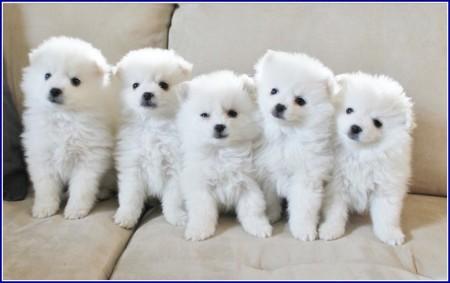 Toy American Eskimo Dogs