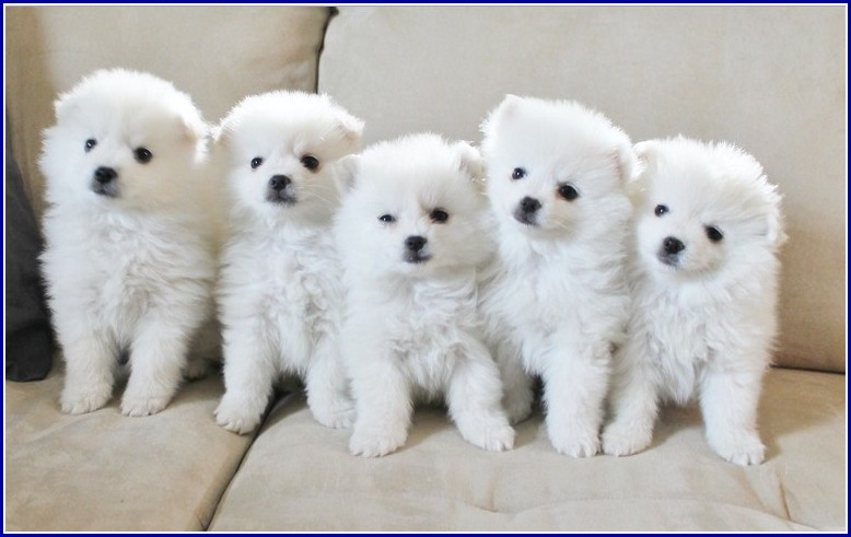 Toy American Eskimo Dogs