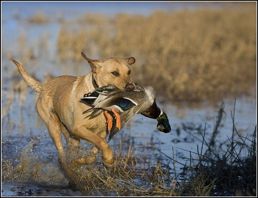 Types Of Bird Hunting Dogs