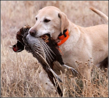 Types Of Hunting Dogs Bird