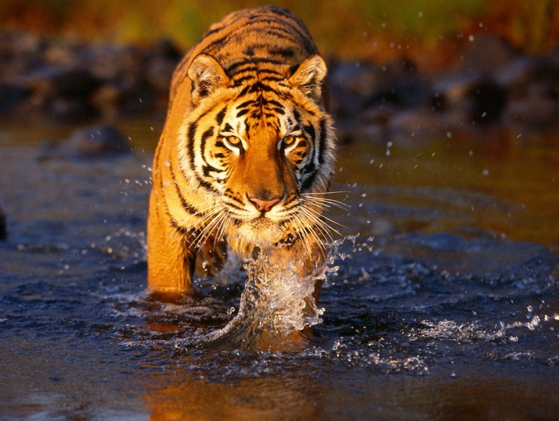 Types Of Tigers In India