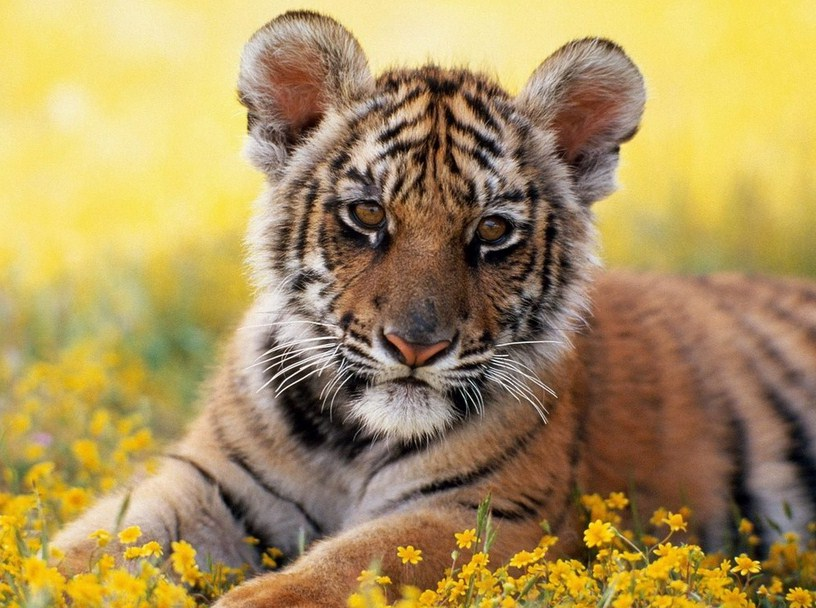 Types Of Tigers In The World