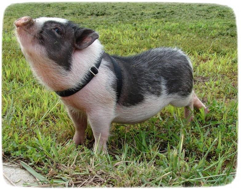 Vietnamese Pigs As Pets