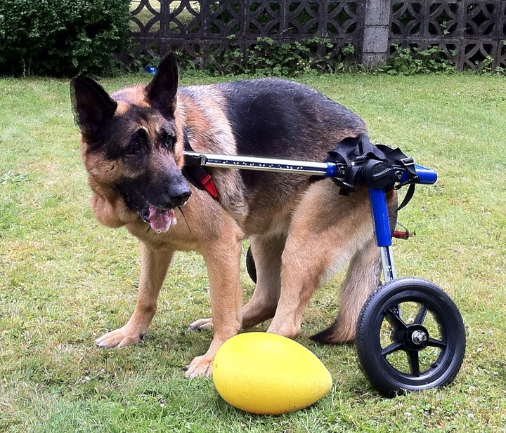 Wheelchairs For Dogs Canada