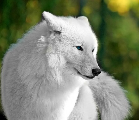 White And Gray Wolf Pictures