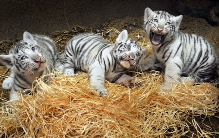 White bengal tiger cubs playing