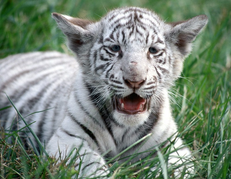 White Bengal Tiger Face