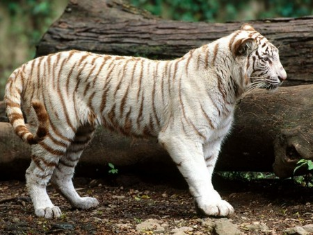 White Bengal Tiger Images
