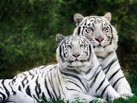 White Bengal Tiger Wallpaper