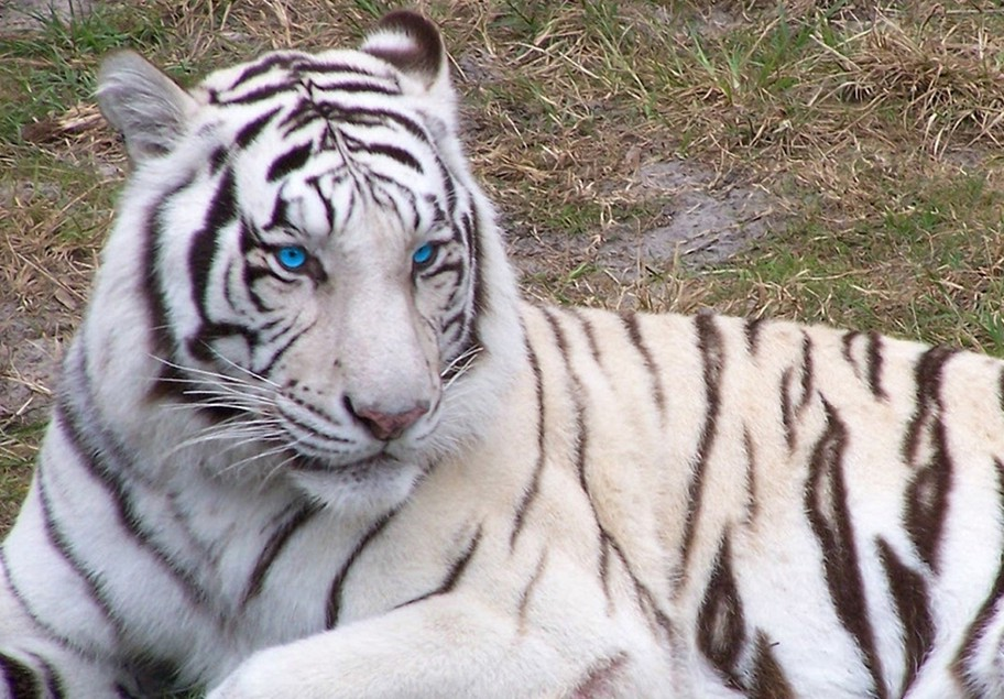 White Bengal Tigers With Blue Eyes