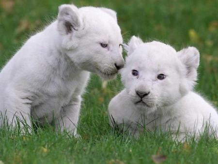 White Lion Animal Baby