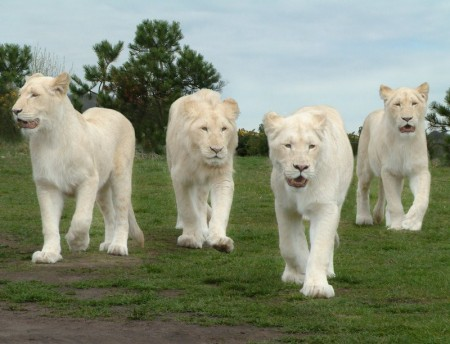 White Lion Animal Photo