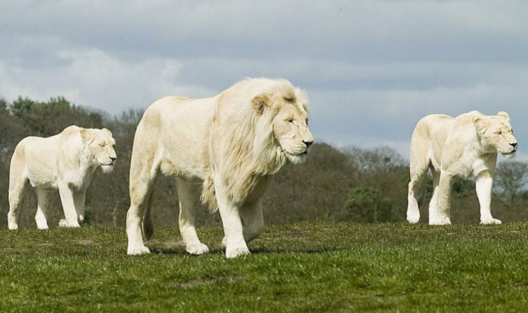 White Lion Animal Pictures