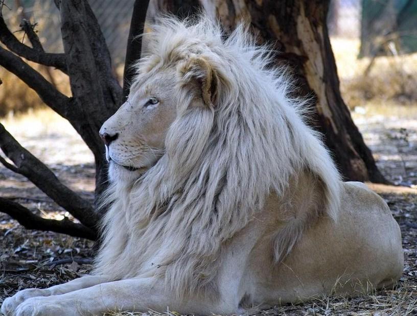 White Lion Animal Wallpaper