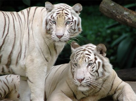 White Siberian Tiger Facts