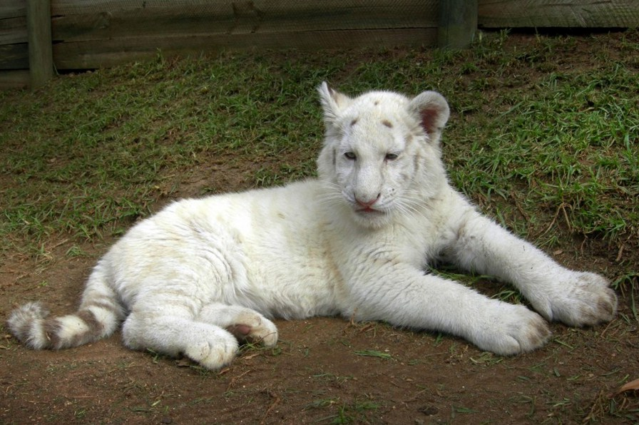 White Tiger Cubs Images