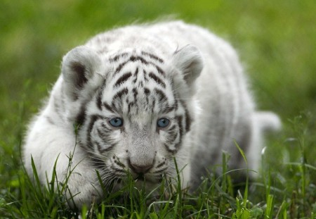 White Tiger Cubs Playing In The Wild