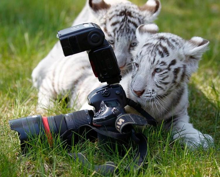 White Tiger Cubs Playing