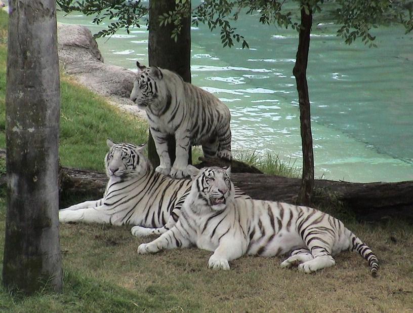White Tiger Cubs Wallpaper