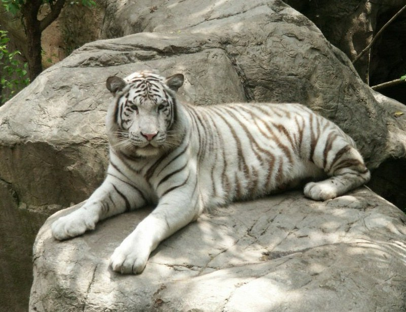 White Tigers Facts And Pictures