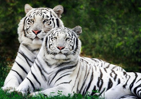 White Tigers Facts For Kids