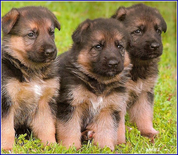Wolf Dog Puppies For Adoption