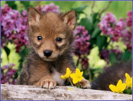 Wolf Dog Puppies Pictures