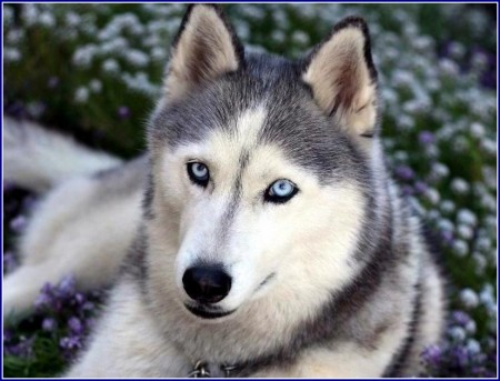 Wolf Dog Puppies With Blue Eyes