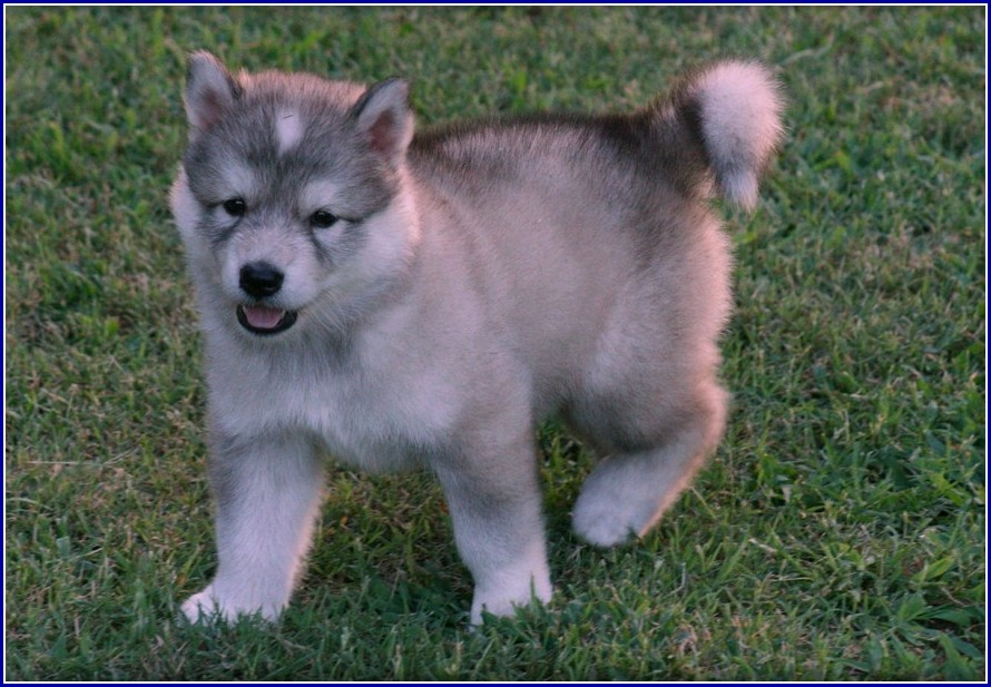 Wolf Hybrid Dogs For Adoption