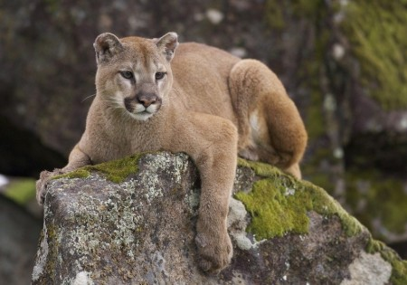 Young Mountain Lion Pictures
