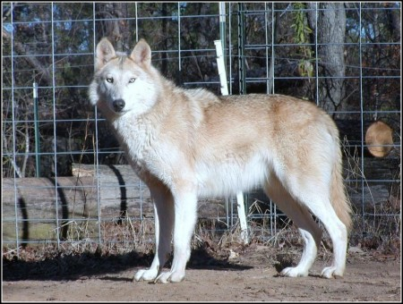 African Wild Dog Wolf Hybrid