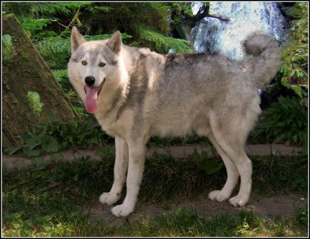 Caucasian Mountain Dog Wolf Hybrid