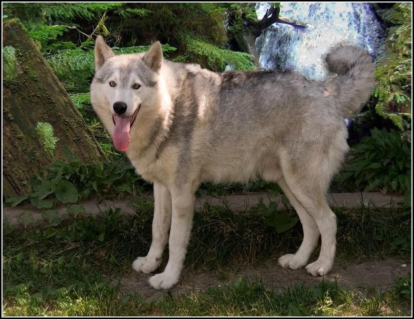 Caucasian Mountain Dog Wolf Hybrid
