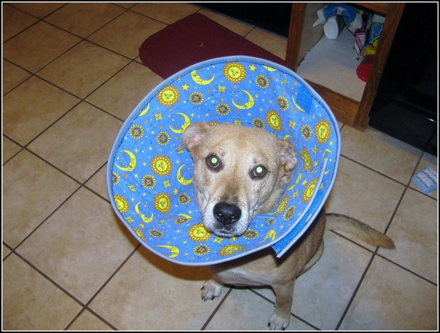 Diy Elizabethan Collar For Dogs