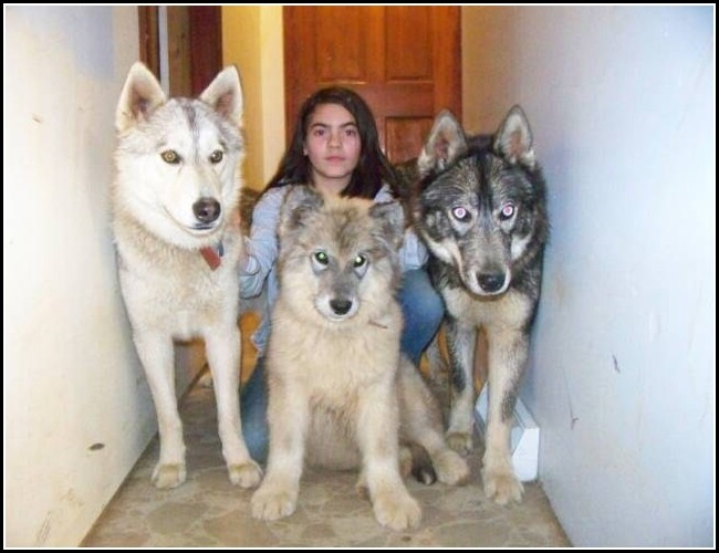 Dog Wolf Hybrid Breeders