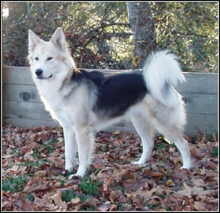 Dog Wolf Hybrid Breeds