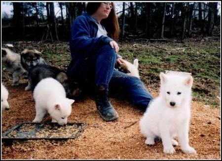 Dog Wolf Hybrid Puppy