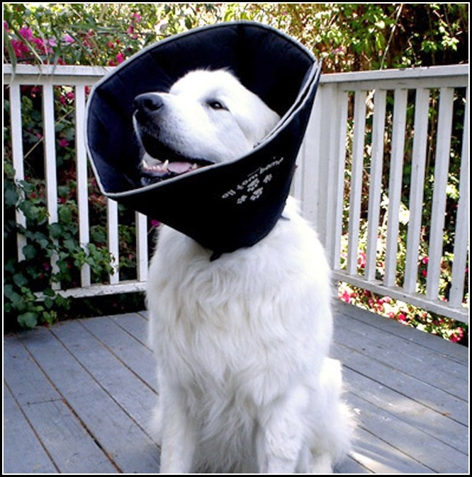 Elizabethan Collar For Dogs Australia