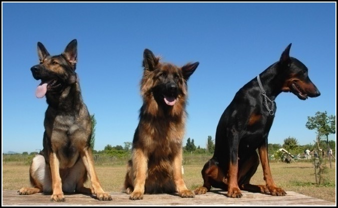 Best Family Guard Dogs