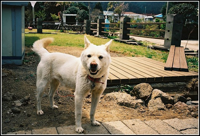 Korean Jindo Dogs 101