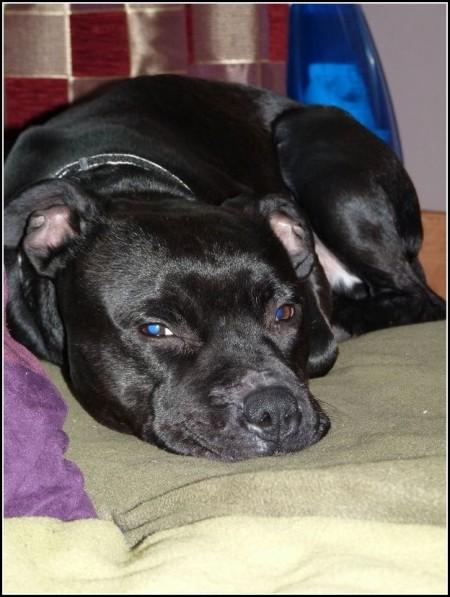 Lap Dog Rescue Uk