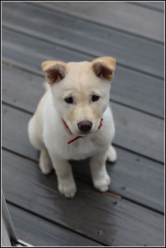 Pictures Of Korean Jindo Dogs