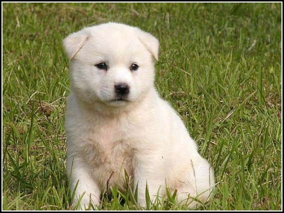 South Korean Jindo Dog