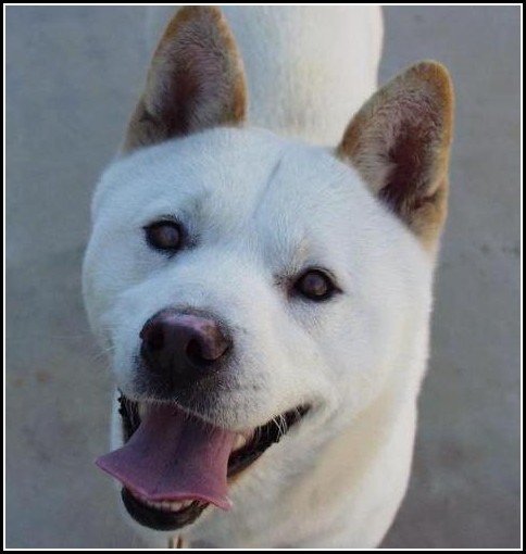 White Korean Jindo Dog