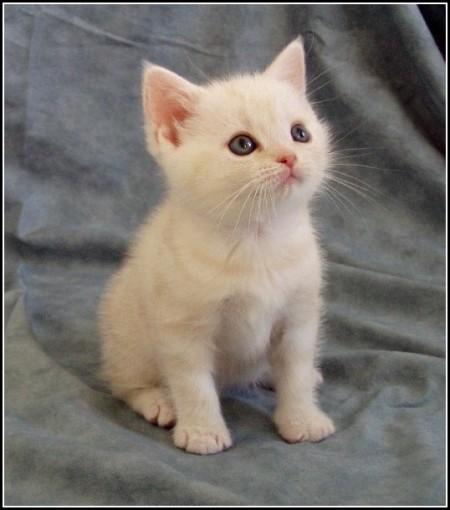 American Curl Kittens California
