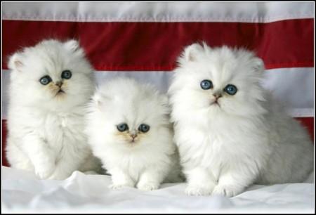 American Curl Kittens Florida